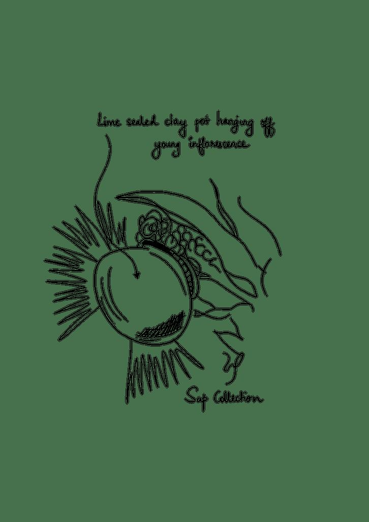 Borassus flabellifer illustration sap collection