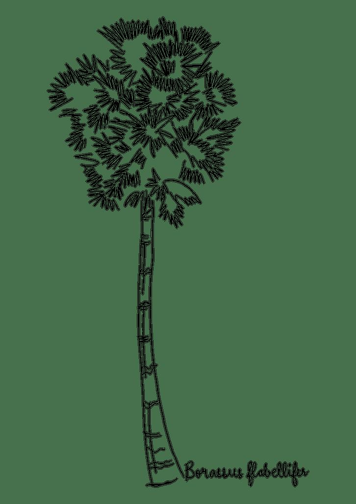 Borassus flabellifer illustration tree