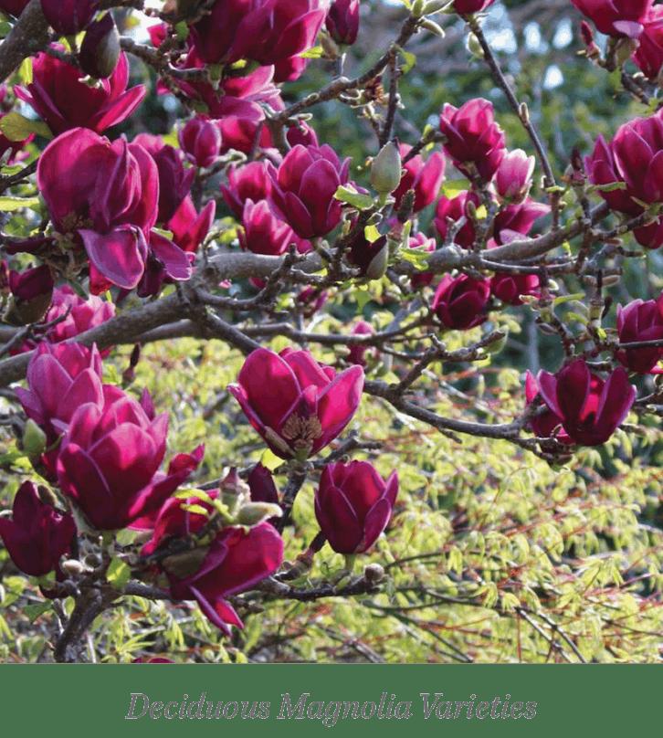 Wellington Plants magnolia