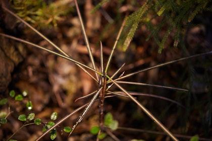 N Woo Last Kauri 168 web